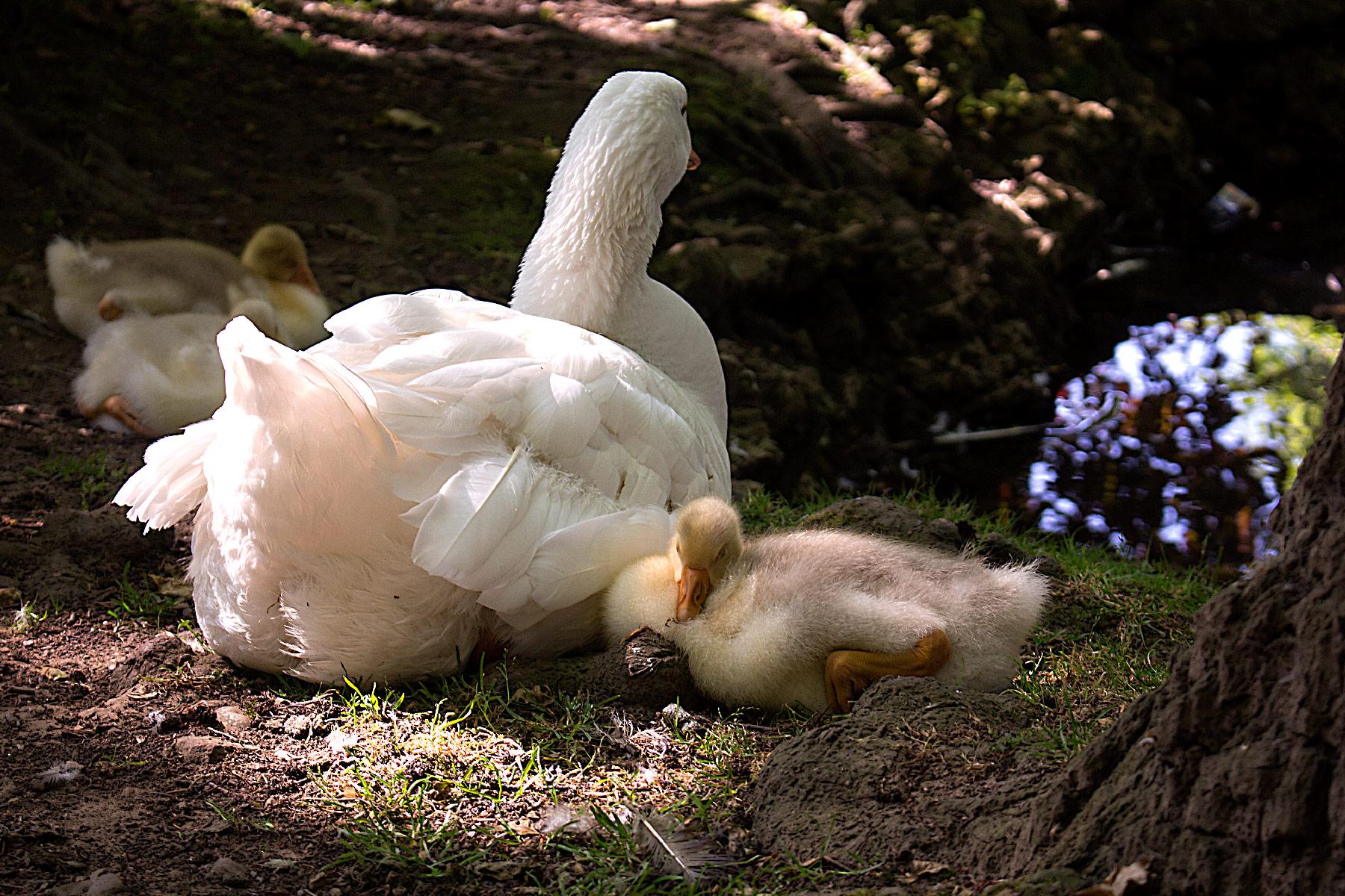 madre pato con su bebé pato